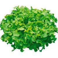 Salade Feuille de Chêne Verte - madisfrais.com
